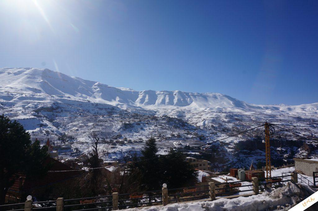 Lebanon Cedar 01