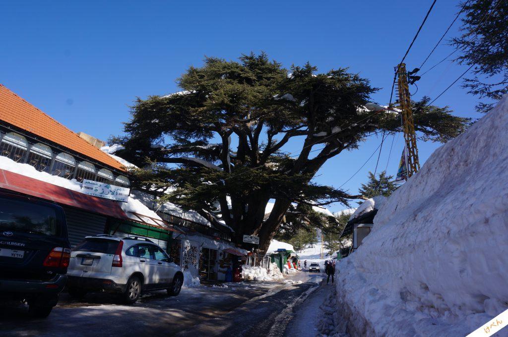 Lebanon Cedar 03